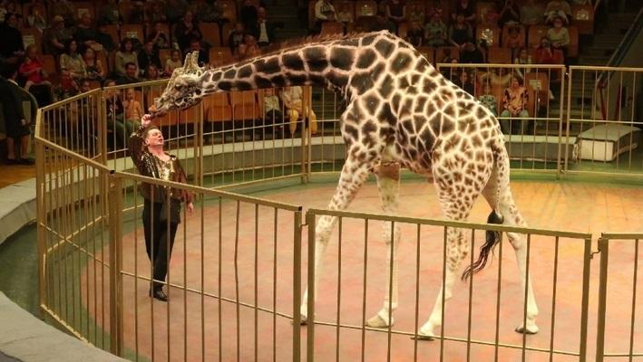 в цирке новое представление жирафы
